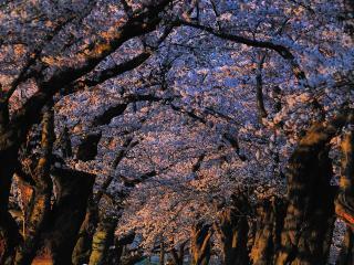 обои Старый сад в весеннем цветении, деревья фото
