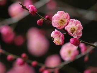 обои Темно-розовые цветки на веточке фото