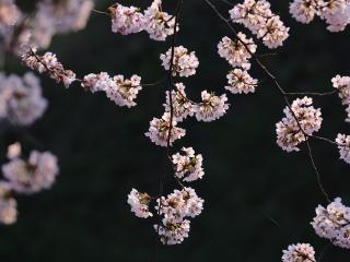 обои Тонкие веточки с пучками цветов фото