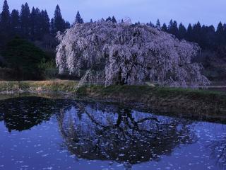 обои Разложистое весеннее дерево, цветущее на берегу пруда фото
