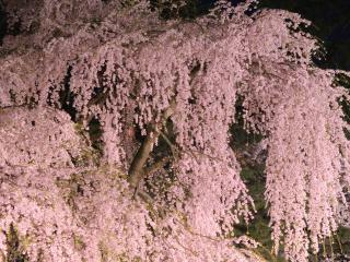 обои Обильно-цветущая весенняя сакура фото