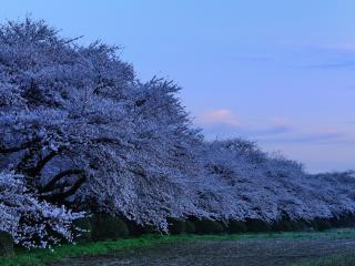 обои Обильно цветущий весенний сад, деревья фото