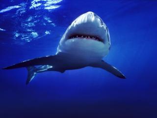 обои Акула зубастая фото