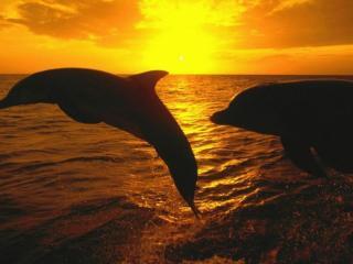 обои Дельфиний закат фото
