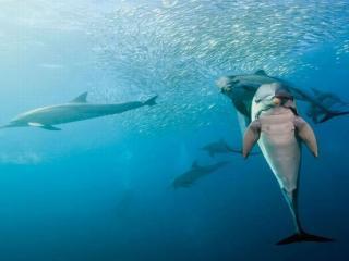 обои Умные дельфины фото