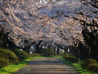 обои Аллея с большими цветущими деревьями фото