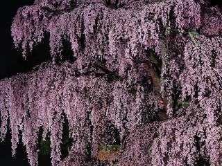 обои Весенняя сакура, с обильным розовым цветением фото