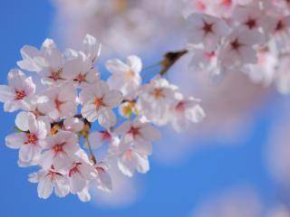 обои Ветка с распущенными цветками фото