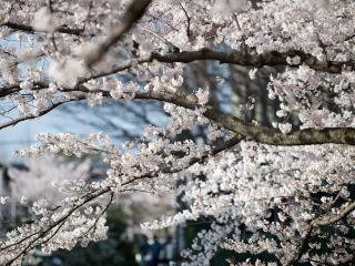 обои Ветки усыпанные белым цветом фото