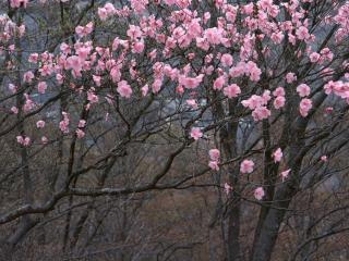 обои Голые весенние деревья, с розовым цветом фото