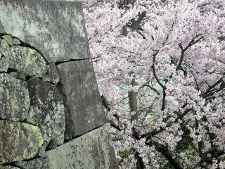 обои Весеннее дерево в цвету, у каменной стены фото