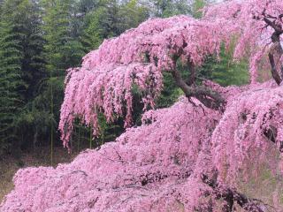 обои Ярко-розовая цветущая, весенняя сакура фото