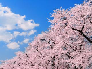 обои Нежно-розовое цветение весеннего дерева фото