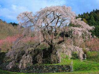 обои Обилие весеннего цветения дерева, в горной местности фото