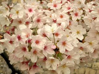 обои Обилие цветков на дереве фото