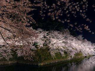 обои Ночной пруд и цветущая весенняя сакура фото