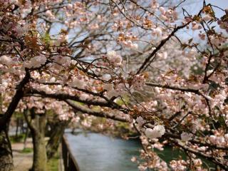 обои Ряд цветущих весенних деревьев, у канала фото