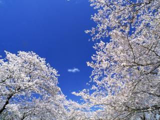 обои Цветущие ветви весенних деревьев на фоне голубого неба фото