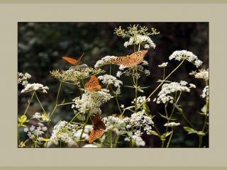 обои Бабочкино раздолье фото