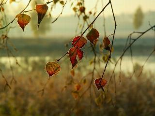 обои Осенние листья берёзы фото