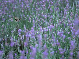 обои Бабочка на цветущем поле фото
