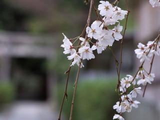 обои Ветка дерева цветущего фото
