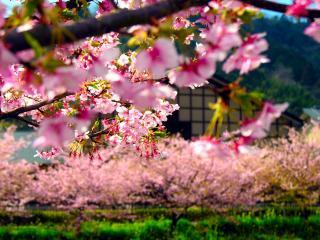 обои Ветка дерева с ярко-розовым цветением фото