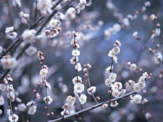 обои Веточки с белыми махровыми цветками фото