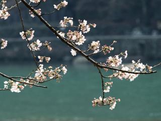 обои Зацвели ветви деревьев весной фото