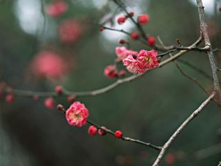 обои Веточка цветущая розовыми махровыми цветками фото