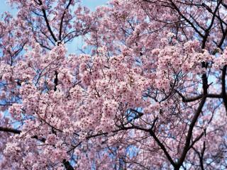 обои Густо цветущие ветви дерева весной фото