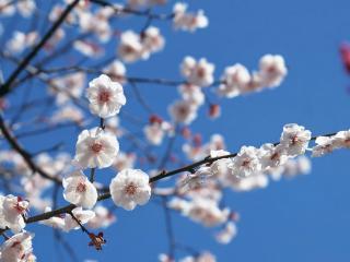 обои Красивые белые цветки на ветке дерева фото