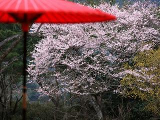 обои Красный зонтик, на фоне весенних цветущих деревьев фото