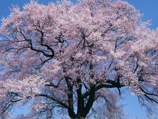 обои Одинокое весеннее дерево, в обильном цветении фото
