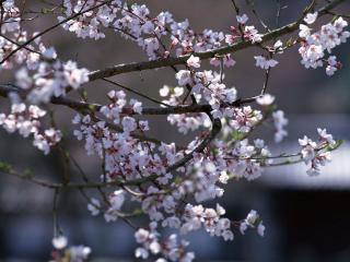 обои Простая ветка цветущего дерева фото