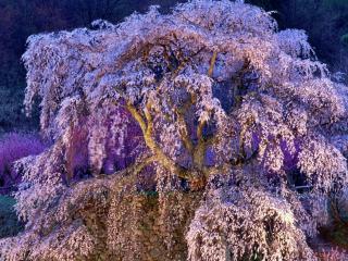 обои Разлапистое весеннее дерево, усыпанное белым цветом фото