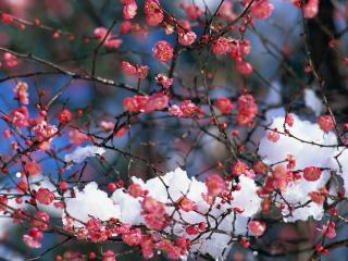 обои Розовые цветущие ветви, в снегу фото