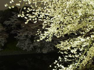 обои Светлое весеннее дерево, цветущее белым цветом фото