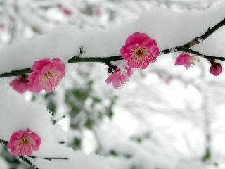 обои Снег на цветущей ветке фото