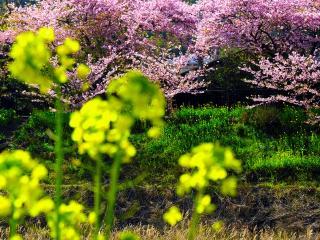 обои Цветущий весенний сад, на сельском склоне фото