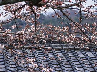 обои Цветущее весеннее дерево, над крышей дома фото