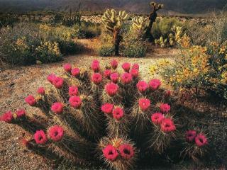 обои Пустыня - время цветения фото