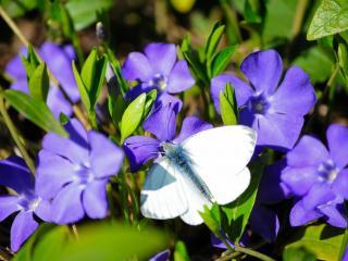 обои Белая бабочка на синих цветах фото