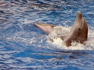 обои Два очень умных дельфина фото
