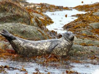 обои Антур - Настоящие тюлени фото