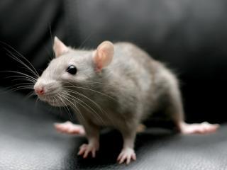 обои Серая крыса фото