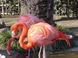 обои Фламинго фото