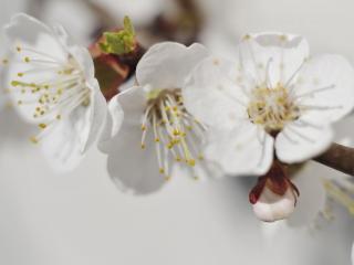обои Белый цвет - цвет Весны фото