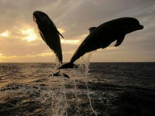 обои Дельфины резвятся фото