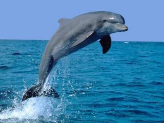 обои Дельфин и синее море фото